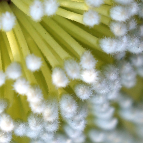 Up close of flower center with hundreds of yellow and white slender columns which look like Q-tips