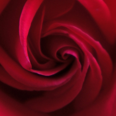Up close of the center of a large red rose