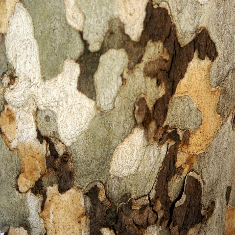 The bark of a sycamore tree that looks like camouflage - green, white, yellow and brown